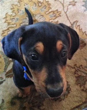 The Puppy Diaries – CVHS – Central Vermont Humane Society